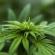 Cannabis Social Club in Spain